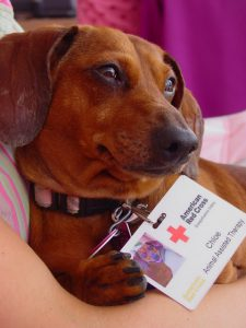 Chloe the Red Cross therapy dog